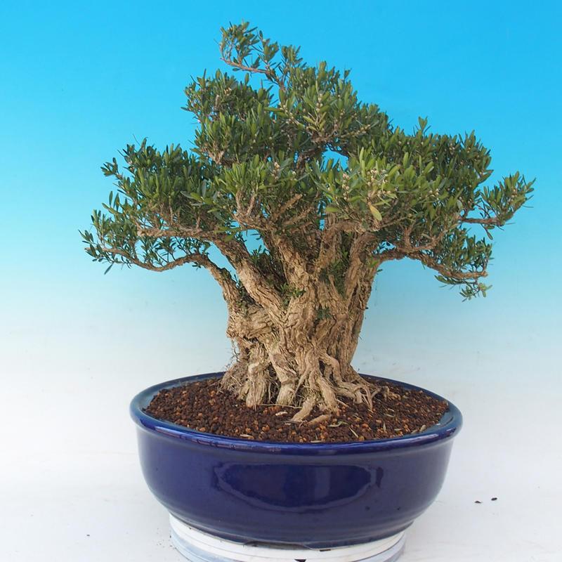 e bonsai zimmer bonsai buxus harlandii kork buxus. Black Bedroom Furniture Sets. Home Design Ideas